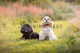 two cockerspaniels in flowered field
