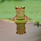 Reflections of a Red-eared frog
