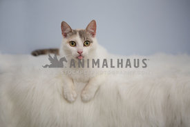 white cat with tongue out on white fur with blue background background