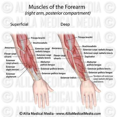 Forearm muscles dorsal view labeled.