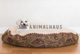 Small dog lying on oversized brocade dog bed