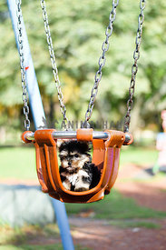 yorkie puppy in an orange swing at the park.