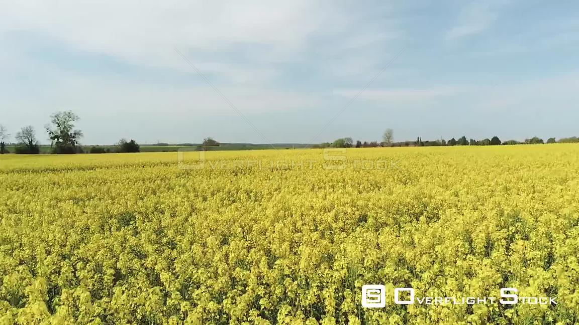 Blooming Colza Rapeseed Fields in France
