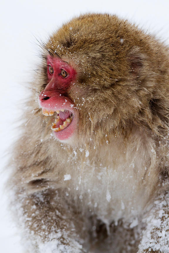Japanese Macaque (Macaca fuscata) Portrait