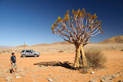 Single quiver tree (kokerboom) in desert