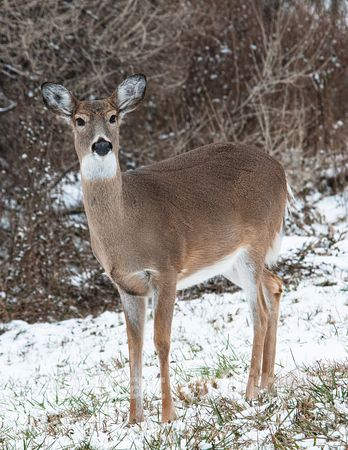 White_tail_deer_in_snow-1-December_31_2009