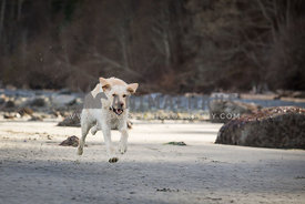 Yellow lab running on the beach