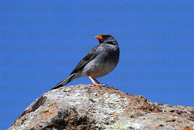 Adult male Band-tailed sierra finch (Phrygilus alaudinus)