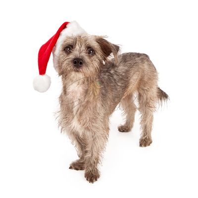 Terrier Dog Wearing Santa Hat