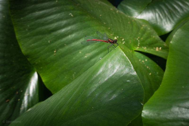 Large red damselfly on green spatterdock leaves