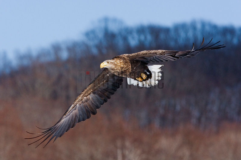 White Tailed Eagle in Flight, International Crane Center, Akan, Hokkaido, Japan