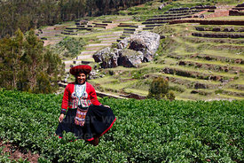 Quechua woman wearing traditional dress in potato field, terraces of Inca site in background, Chinchero, near Cusco, Peru