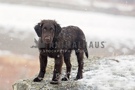 Young liver flatcoat in snow