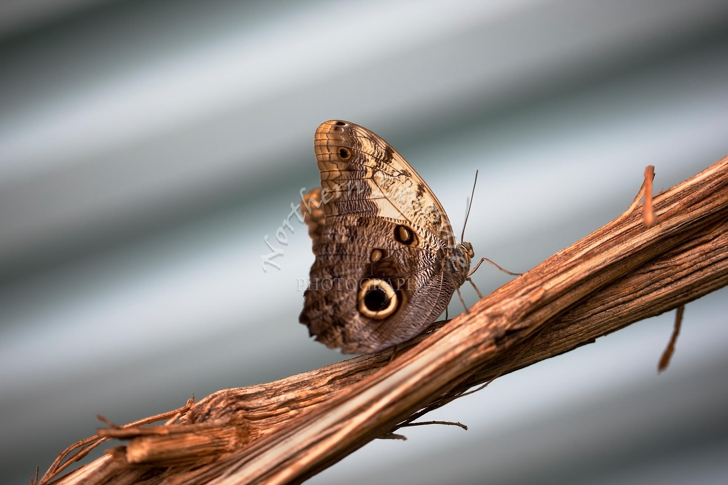 Brown_Butterfly