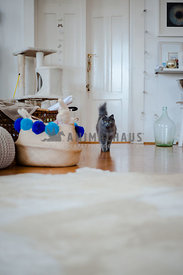 Beautiful purebred grey cat walking with high tail at home