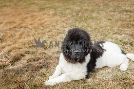 Newfoundland puppy laying down outside in the grass