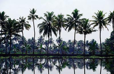 India - Kerala - Palm trees in the Backwaters