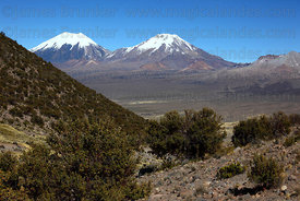Payachatas volcanos and queñua bushes (Polylepis tarapacana), Sajama National Park, Bolivia
