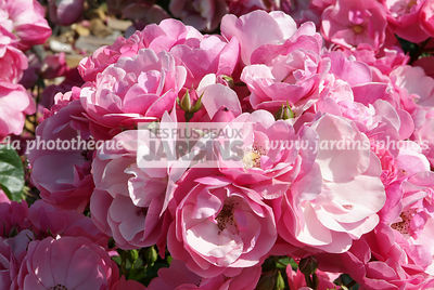 Rosa 'Angela'® (Rose). Globe Planter