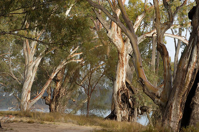 Eucalypt forest beside the Murray River