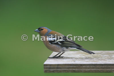 Male Common Chaffinch (Fringilla coelebs) on bird table, Kingussie, Scottish Highlands