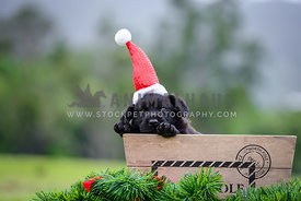 Black puppy in santa hat