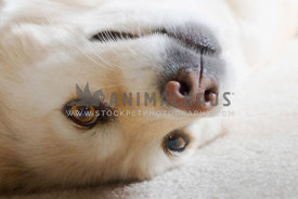 Closeup portrait of playful golden retriever dog laying on back grinning at camera
