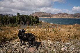 Black dog looking out over loch / lake
