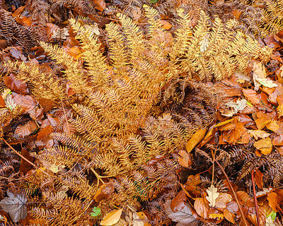 Glistening Bracken and Beech in Autumn with their attractively coloured leaves at Woodbury Castle, near Exmouth, Devon, UK.