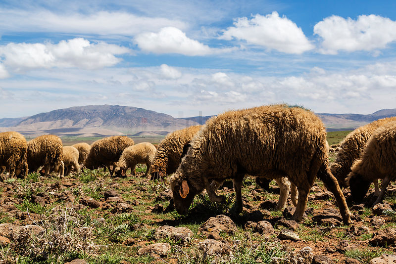 Flock of Sheep in the Middle Atlas