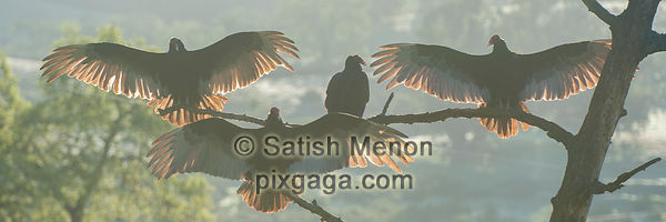 Turkey Vultures Warming in Morning Sun, San Jose, CA, USA