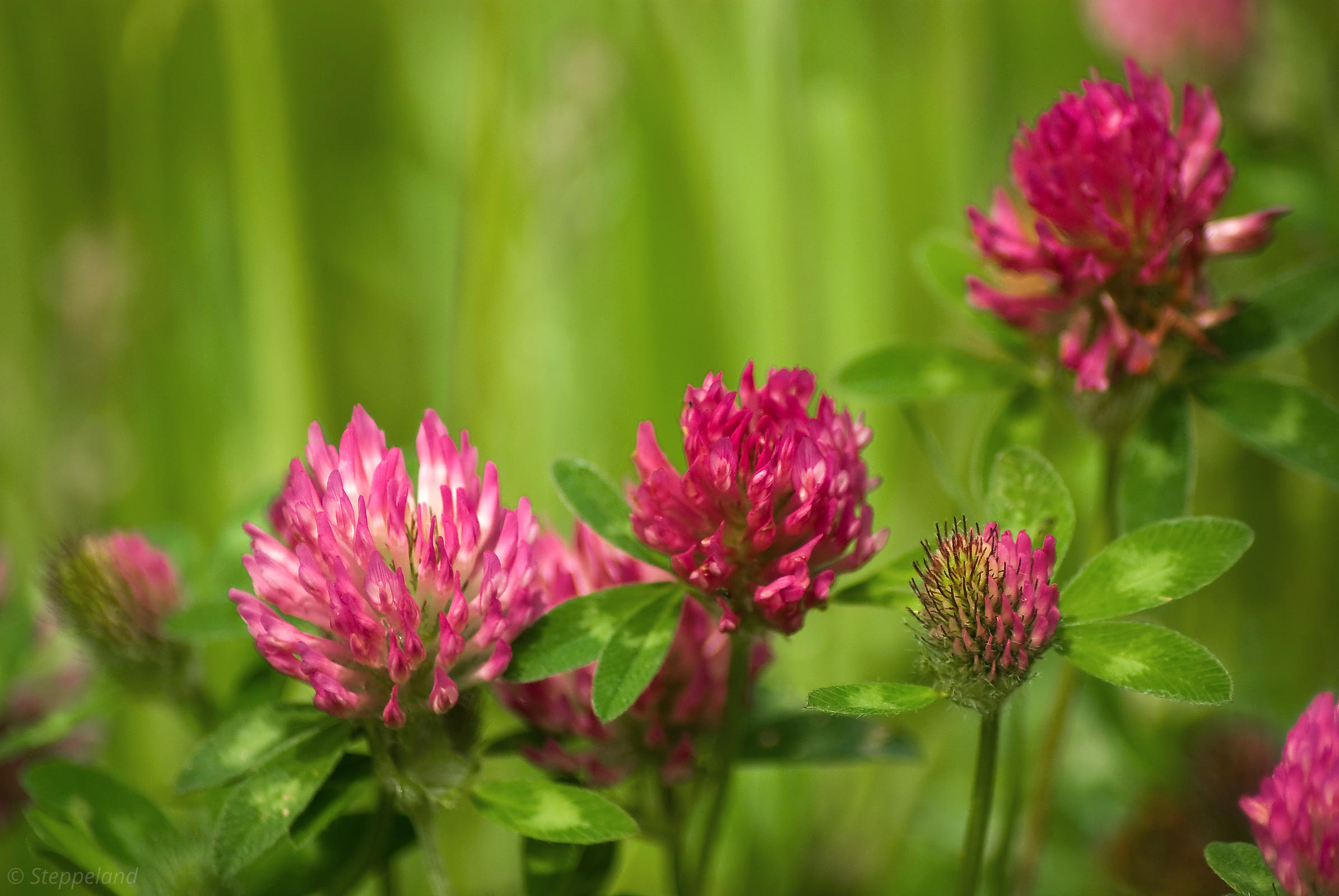 Simple beauty of red clover