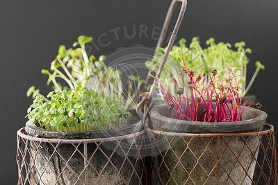 Cress, Beet, Raddish and Rocket Microgreens.