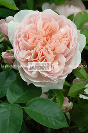 Rosa 'Wildeve' (Rose). Ausbonny. Obtenteur : David Austin. Hampton Court. Angleterre.