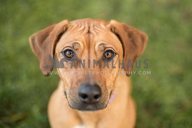 Younge Ridgeback dog looks up at camera