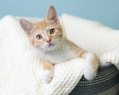 Adorable Kitten in basket with white blanket blue background white paws