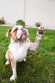 bulldog on grass in backyard giving paw