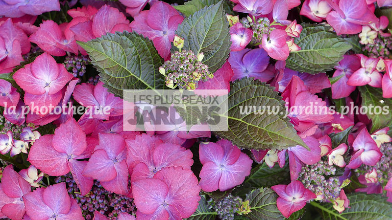 Hydrangea Dark Angel Red Série Black Diamonds (hortensia hybride), Mophead, Croisement H. macrophylla x H. serrata, Hydrangea...