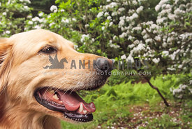 Golden Retriever profile in park with flowering tree