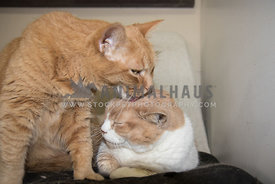 two cats grooming each other