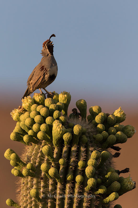 As the sun was setting this Gambel's Quail perched twenty feet up in the air to proclaim his territory.