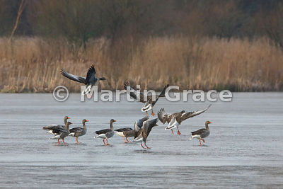 Greylag Geese (Anser anser) flying in to join another group standing on ice, Leighton Moss, England