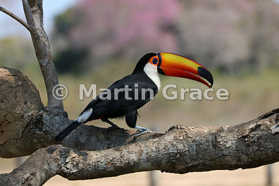 Toco Toucan (Common Toucan, Giant Toucan) (Ramphastos toco) holding a small food item at the tip of its bill, Pantanal North,...