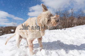 doodle shaking off snow