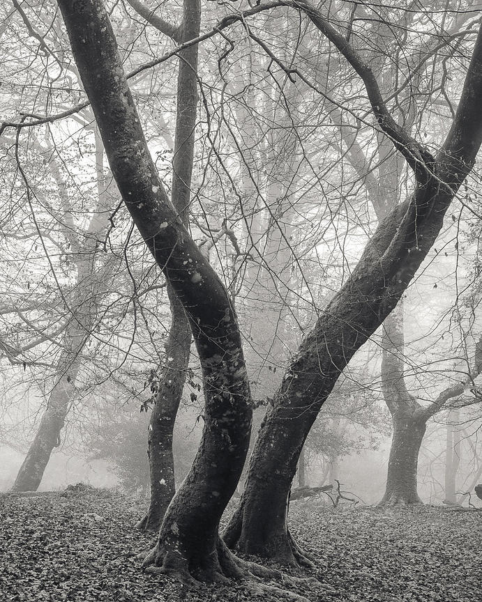 Fog in the New Forest at Mark Ash Wood  Two Beech trees appear to be dancing with each other