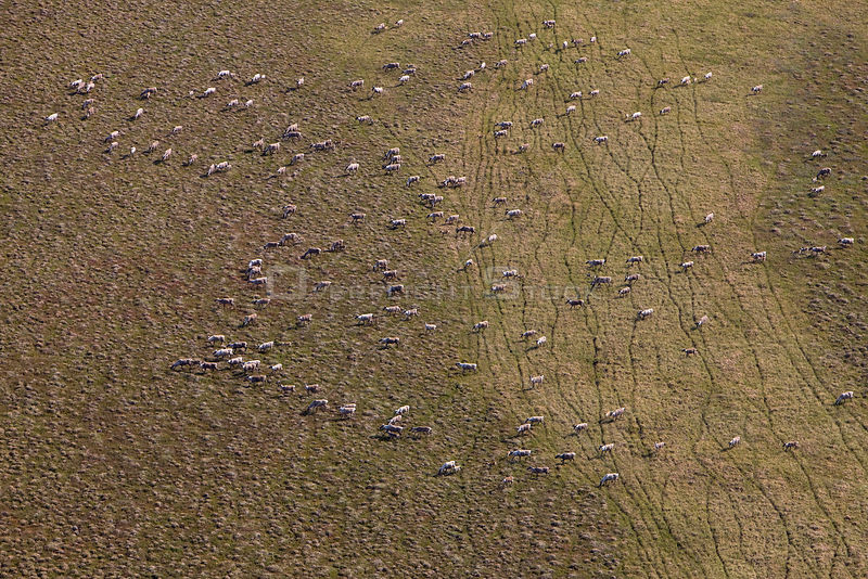 Aerial view of Caribou (Rangifer tarandus) herd during summer migration on coastal plains, Arctic National Wildlife Refuge, A...