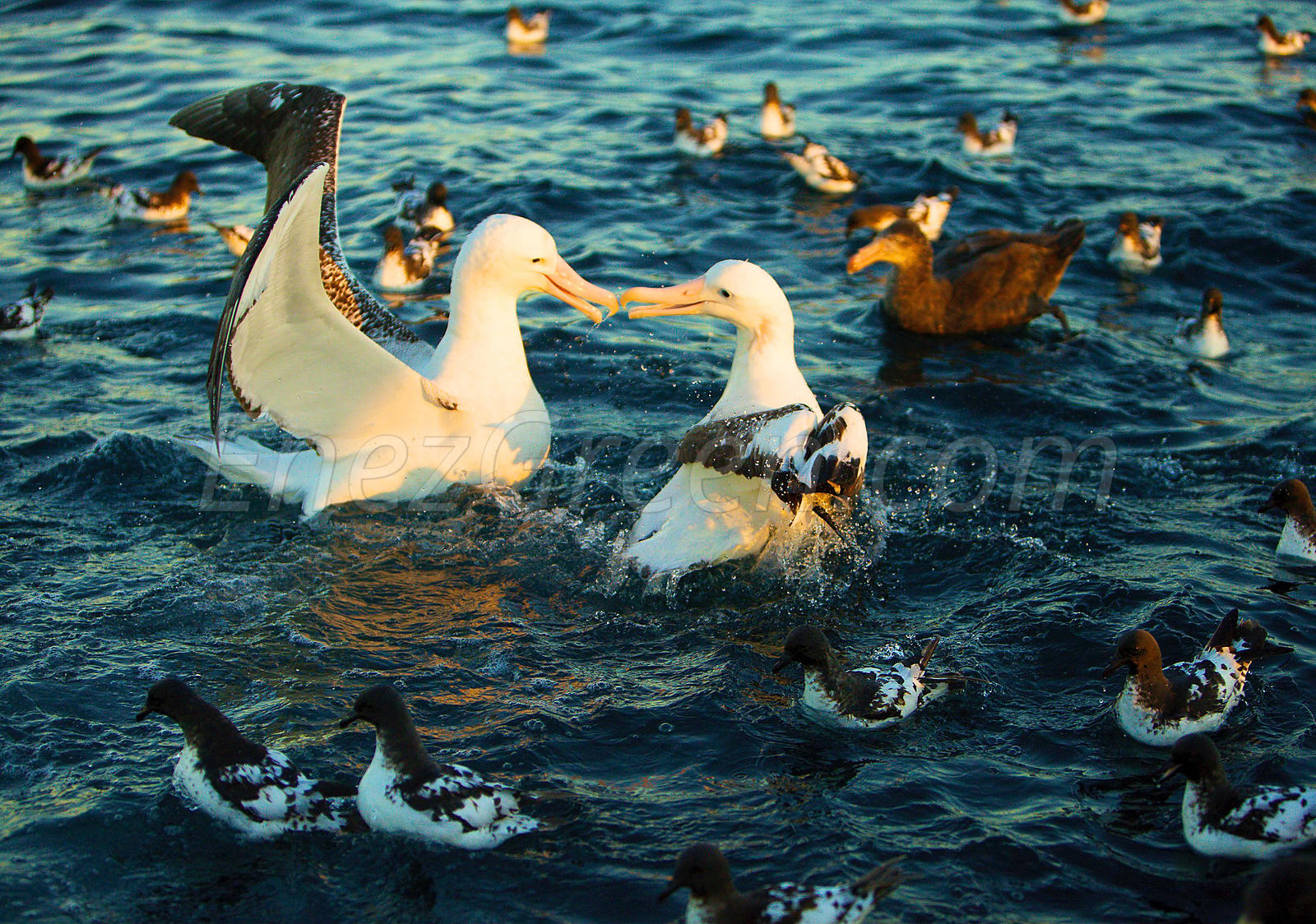 Albatros and Petrels in New-Zealand