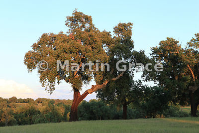 Cork Oak dehesa (Quercus suber), Monfrague National Park, Extremadura, Spain