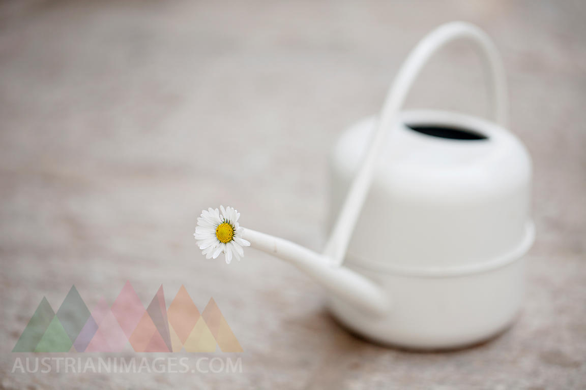 Daisy blossom in white watering can on stone floor