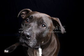Closeup of a young black pitbull dog in a black background